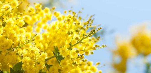 Sulla-strada-della-mimosa-2