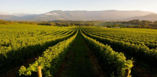 vigne-australiane