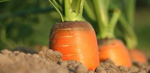 carrot-1565597_640 (1)