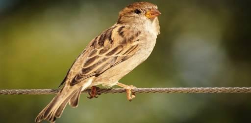 sparrow-3698507_640 (1)
