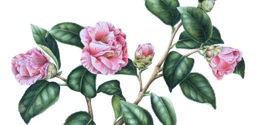 Camellia-japonica-Giuseppe-Traverso41x49--scaled-e1614327444219-1694x1440